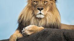 Un homme attaqué et tué par... son «lion de