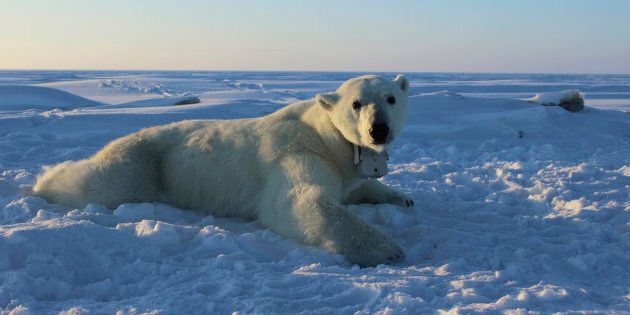 Trop d'ours polaires dans certaines parties du Nunavut, selon un nouveau plan du