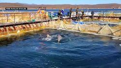Cousteau à la rescousse des orques et des bélugas captifs en