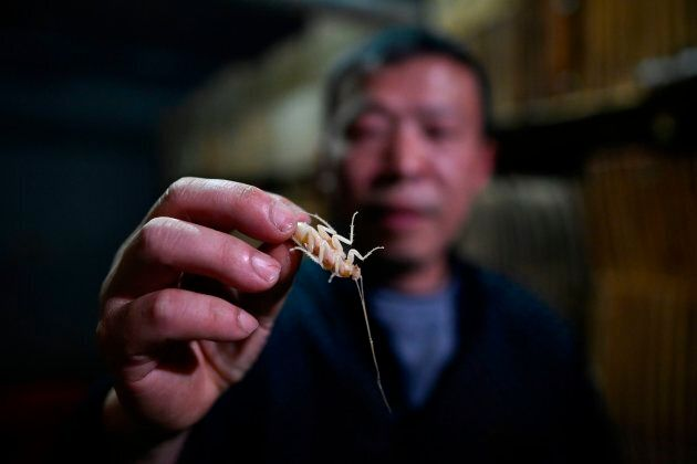 This picture taken on March 25, 2019 shows cockroach farmer Li Bingcai holding up an exuvial roach at...