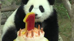 Ce panda géant fête son premier