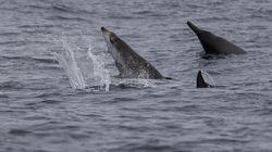 Trois baleines menacées dans les eaux