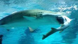 Pour le dîner, ce requin d'aquarium a englouti son rival