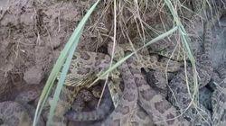Peur des serpents? Cette vidéo n'est pas pour