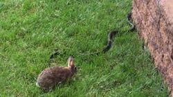 Cette lapine affronte un serpent pour sauver ses