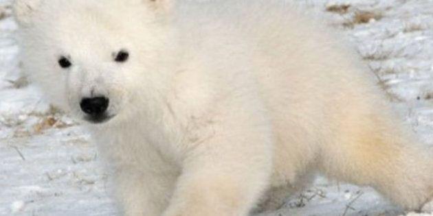 Un bébé ours polaire