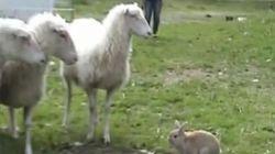Un lapin gardien de moutons adorable: