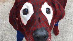 Ce chien atteint de vitiligo vaut le