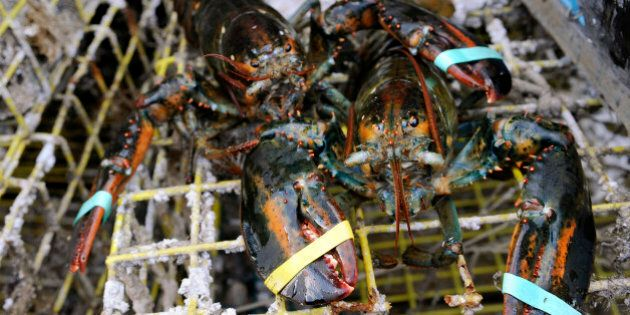 FILE - In this Oct. 28, 2011 file photo, lobsters sit on a trap in New London, Conn. A study released...