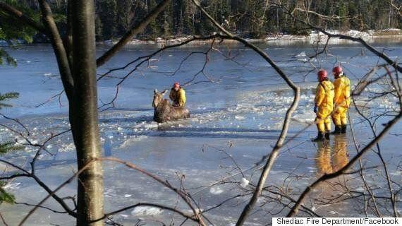 Une orignale rescapée des glaces par les pompiers à