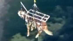 Le sauvetage incroyable de ce cheval par les airs