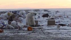 Des ours polaires forcés de fouiller dans une décharge pour se nourrir