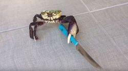 Ce crabe Hitler fait le menaçant avec son