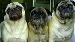 Ces chiens voient des portes