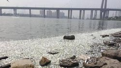 Des milliers de poissons morts flottent à