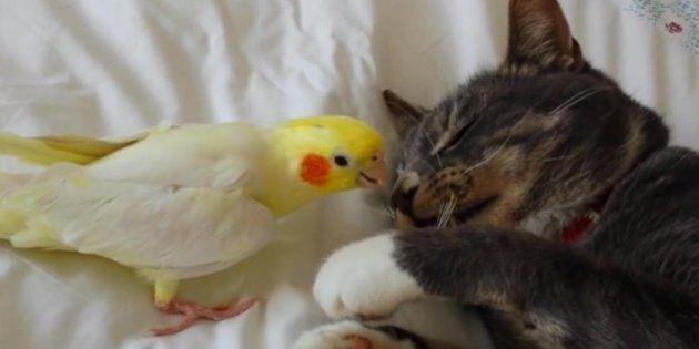 Ces oiseaux adorent ennuyer les chats