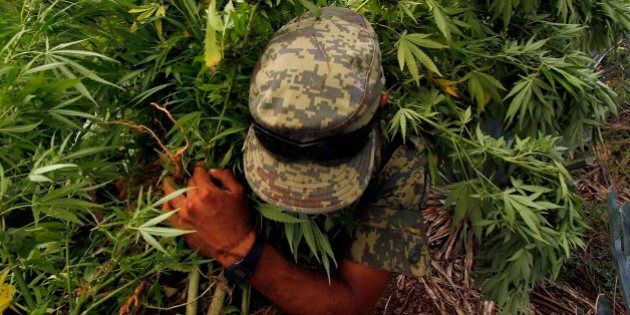 A Mexican soldier pulls up marijuana plants found amid a field of blue agave - the plant used for the...