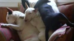 Ces trois Bull Terrier ont réussi à s'endormir les uns sur les