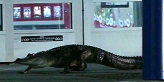 Un alligator au supermarché