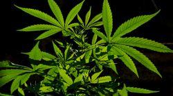 Devinez combien coûtera le cannabis en