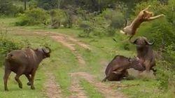 Un buffle fait voler un lion pour sauver un de ses semblables