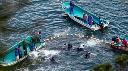 Au Japon, la baie des massacres de dauphins de nouveau pointée du doigt