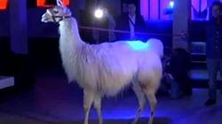 Serge le lama a tourné le clip de «Lamaoutai»