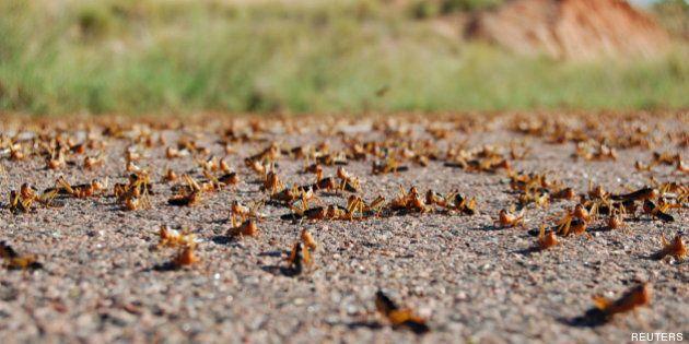 Une invasion decriquets et de cigales a eu lieu à Madagascar, aux États-Unis