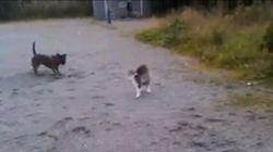 Un chat terrorise un gros chien