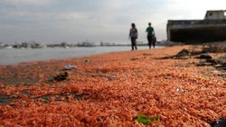 Des milliers de crevettes échouées sur une plage