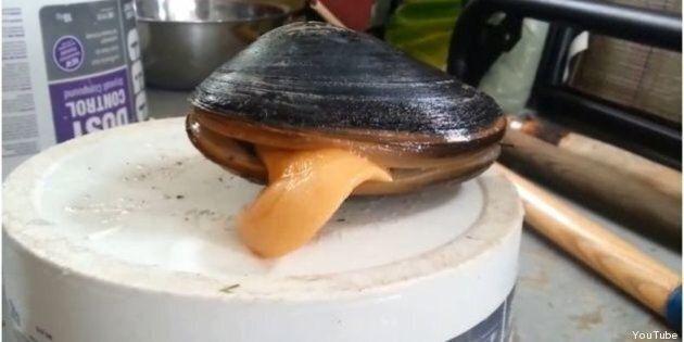 Insolite: quand une palourde lèche du sel