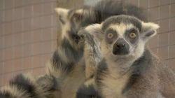 Des lémuriens au Musée canadien de