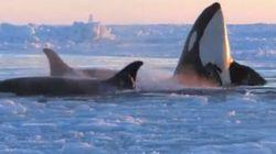 Des orques prisonnières des glaces dans la baie
