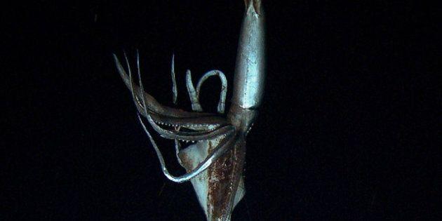 Un calamar géant de 8m filmé dans le Pacifique par 900m de fond