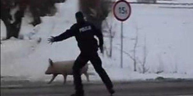 Le cochon qui fait rire toute la Pologne