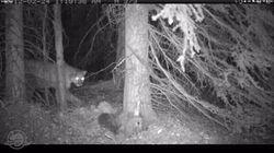 Un cougar de Banff mange un wapiti devant la caméra pendant 24 heures