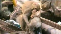 Un singe sauve son ami électrocuté sur une voie