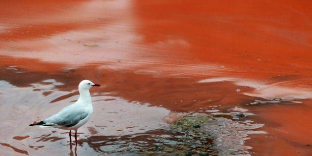 La plage de Bondi en Australie devient rouge à cause d'une algue