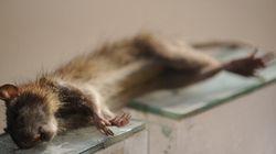 Afrique du Sud: pour 60 rats capturés, un téléphone gratuit
