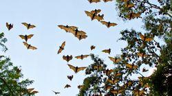 5000 cadavres de chauves-souris tombent du ciel