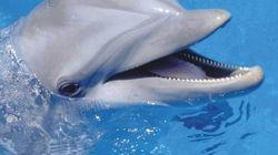 Quand un dauphin prend un plongeur pour un objet sexuel