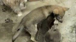 VIDÉO: Grizzly et loup