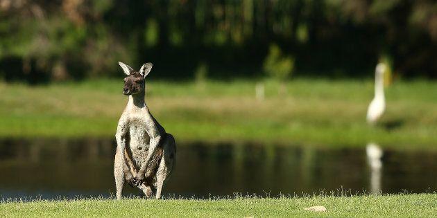 Un kangourou retrouvé abattu en Australie, vêtu d'un imprimé