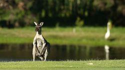 La sordide mise en scène d'un cadavre de kangourou scandalise