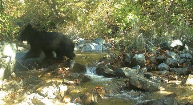 비무장지대(DMZ)에서 반달가슴곰이