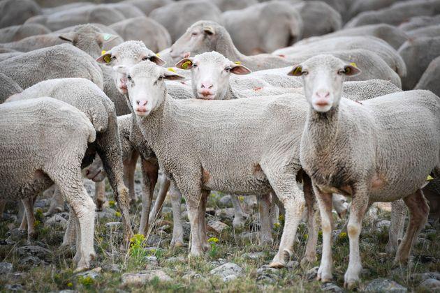Γαλλία: Πώς ένα κοπάδι πρόβατα έσωσε τάξη δημοτικού σχολείου από βέβαιο
