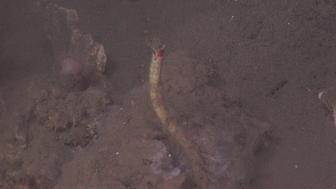 A tubeworm growing on a carbonate rock at Kitty Hawk Seep off the coast of North Carolina.