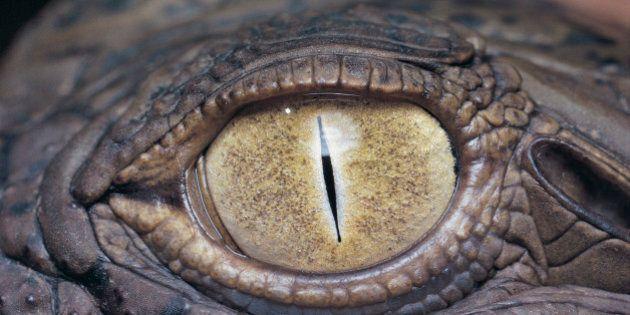 Eye of a Nile Crocodile (Crocodylus