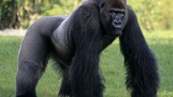 Apes May Be Much Closer To Human Speech Than We