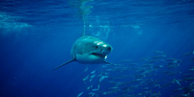 Great White Shark, Carcharodon carcharias, Mexico, Pacific ocean,